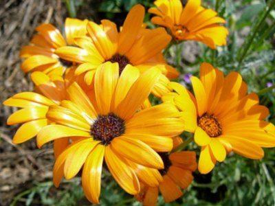 Диморфотека Цветочный Нектар