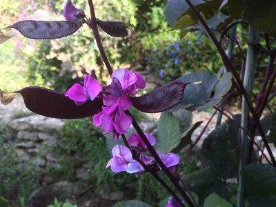 Долихос Фиолетовая Гирлянда