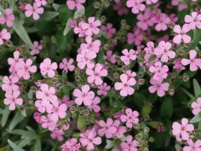 Мыльнянка Розовая Лужайка