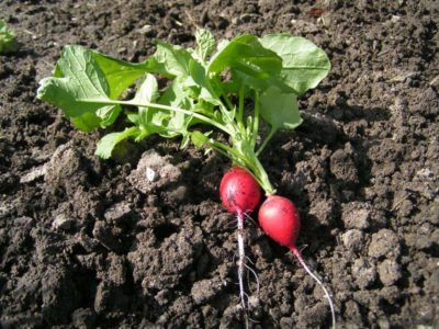 Проблемы в выращивании редиса