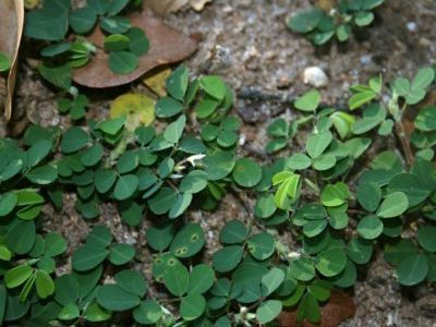 Размножение десмодиума черенками и делением