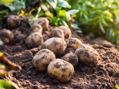 Посадка картофеля в открытом грунте