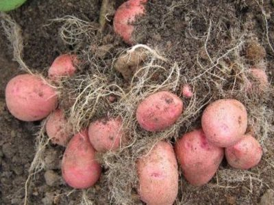 Картофель Беллароза