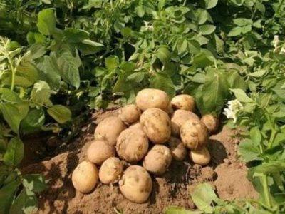 Картофель Метеор