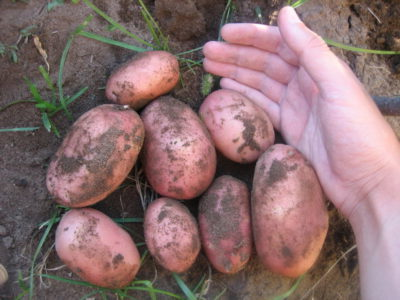 Картофель Ред Соня