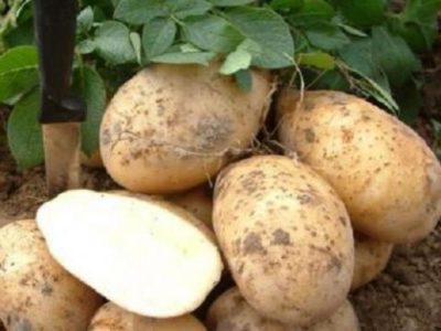 Картофель Скарб