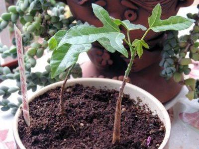 Почва для брахихитона