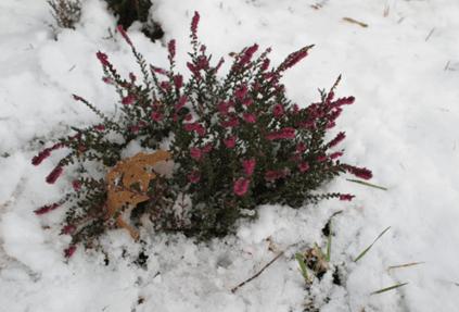 растения под снегом