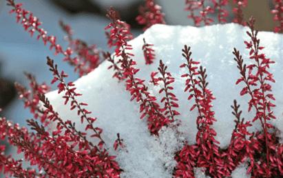 растения под снегом-2
