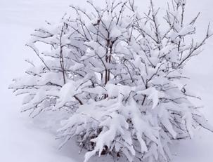 снег на кусте