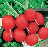 грибовский тепличный редис